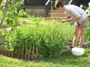 Calendula flowers growing at my herb farm