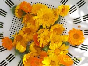 Calendula flowers before drying